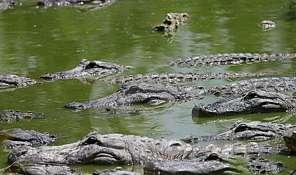 muchos-cocodrilos-7702001
